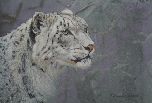 Gaze of a Snow Leopard